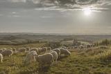 Europe  Italy  Tuscany  Near Siena  Le Crete  Flock of Sheep  Back Light Photography