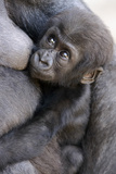 Gorilla Baby, Gorilla Mother Papier Photo par Ronald Wittek