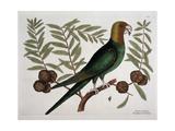 The Parrot of Carolina Giclée par Mark Catesby
