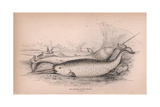 The Narwhal or Sea Unicorn