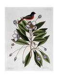 The Painted Finch Giclée par Mark Catesby