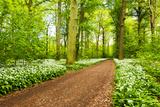 Wood  Wild Garlic  Wild Flowers  Way  Spring  Leipzig  Germany