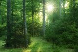 The Morning Sun Is Breaking Through Nearly Natural Beeches Mixed Forest  Spessart Nature Park
