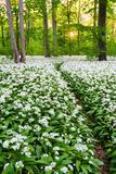Sun  Wood  Wild Garlic  Wild Flowers  Way  Spring  Leipzig  Germany