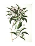 Chamaedaphne Foliis Tini  Floribus Bullatis Umbellatis - Mountain Laurel