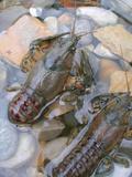 American Crayfish, Two, Gravel Papier Photo par Harald Kroiss