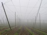 Hop Garden in the Hallertau  Autumn  Fog