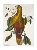 The Parrot of Paradise or the Redwood Parrot Giclée par Mark Catesby