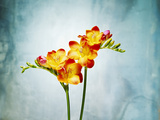 Freesia  Flower  Blossoms  Buds  Still Life  Red  Yellow  Blue