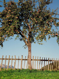 Living apple fence