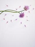 Chives  Allium  Allium Schoenoprasum  Stalks  Green  Blossoms  Chives Blossom