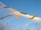 Caterpillars of the Bird-Cherry Ermine  Sky