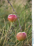 Apples  Two  Branch  Meadow