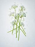 Wild Garlic  Allium Ursinum  Blossom  Green  White  Blossom