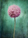 Allium  Flower  Blossom  Still Life  Allium Giganteum  Pink  Turquoise