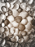 Collected Seashells from the North Sea