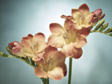 Freesia  Flower  Blossoms  Buds  Still Life  Pink  Yellow  Blue
