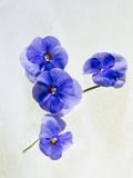 Violets  Blossoms  Violet  Blue  Viola Odorata