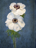 Anemone  Flower  Blossoms  Still Life  White  Blue