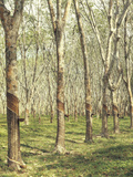 Asia  Malaysia  Gumtree Plantation  Rubber Extraction