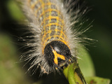 Caterpillar  Buff-Tip