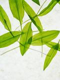 Wild Garlic  Allium Ursinum  Leaves  Green