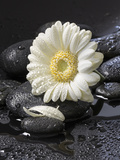 White Blossom on Black Stones