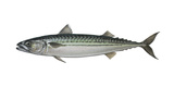 Illustration  Mackerel  Scomber Scombrus  Not Freely for Book-Industry  Series