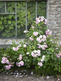 Pink Climbing Roses in Front of Old Greenhouse