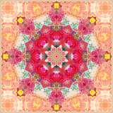 A Floral Montage  Layer Work from Pink and Red Poeny Blossoms and Pink Cherry Blossoms
