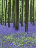 Belgium  Hallerbos  Beech Forest  Bluebells  Fern