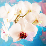 Composing with White Orchid Blossoms Infront of Blue Background