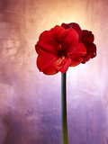Amaryllis  Flower  Blossom  Still Life  Red  Violet