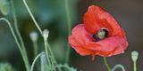 Red Poppy  Blossom  Close-Up