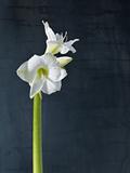 Amaryllis  Flower  Blossom  Still Life  White