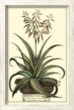 Antique Munting Aloe III