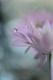 In Pink Delight II