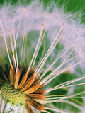 Macro Dandelion Flower