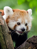 Red Panda Bear Animal