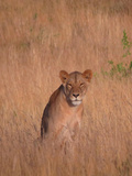 Lion Wildlife Africa Cat