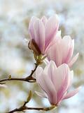 Magnolia Flower Bloom