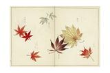 Botanical Illustration of Japanese Maple Leaves