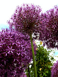 Purple Allium Flower 2
