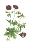 Botanical Drawing of Deep Purple Geranium