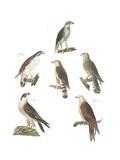 Scientific Illustrations of Perched Hawks