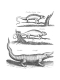 Black and White Scientific Illustrations of Chameleons and Crocodile