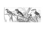 Scientific Drawing of Toucans with Birds on Grassy Stems