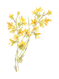 Watercolor of Forsythia Flowers and Branches