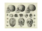 Anatomical Etchings of Human Skulls