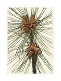 Pine Tree Needles and Curly Pinecones